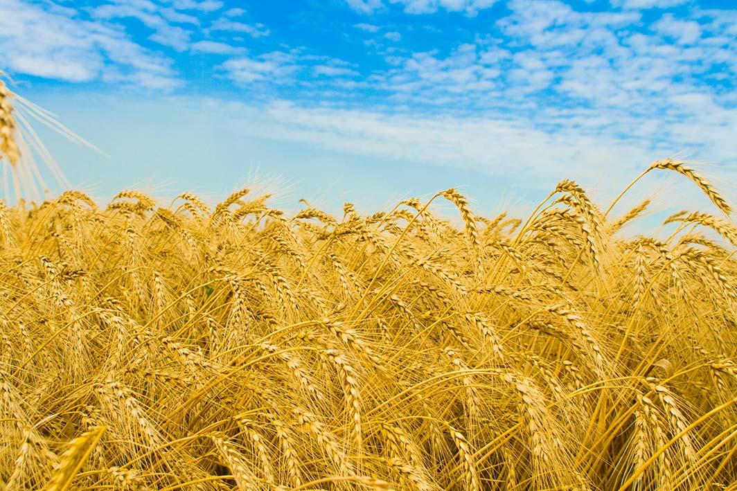 ۲۴ هزار تن گندم مازاد از گندم کاران سیستان و بلوچستان خریداری شد