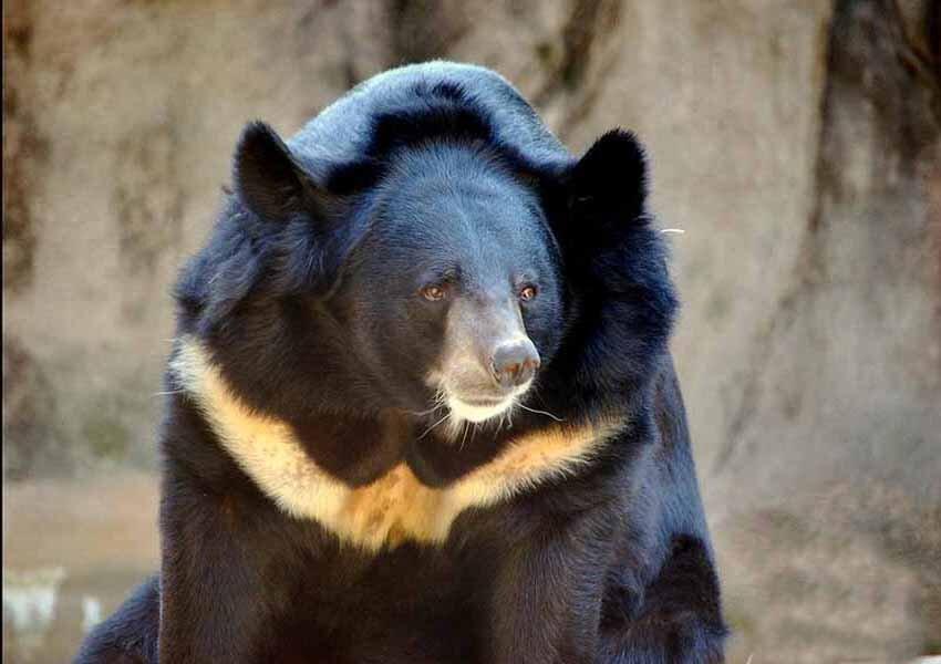 مرگ خرس سیاه بلوچی در باغ وحش زابل/ محیط زیست پیگیر پرونده نادیا