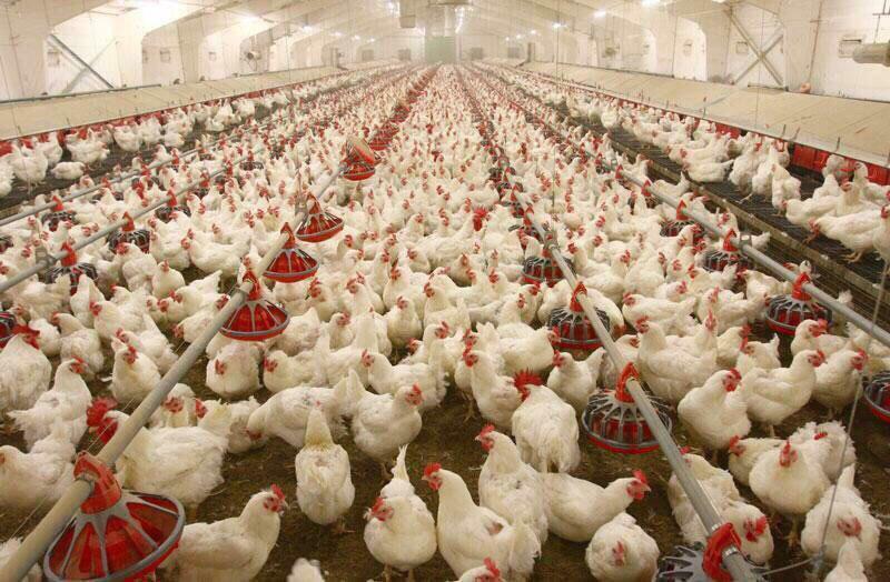 ضرورت تکمیل و بهسازی کشتارگاههای ایرانشهر/ تهدید سلامت جامعه در میدان های عرضه دام و فروشگاههای عرضه مرغ زنده