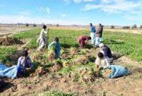 ۳۱۴ هزار تن انواع سبزیجات در سیستان وبلوچستان تولید می شود