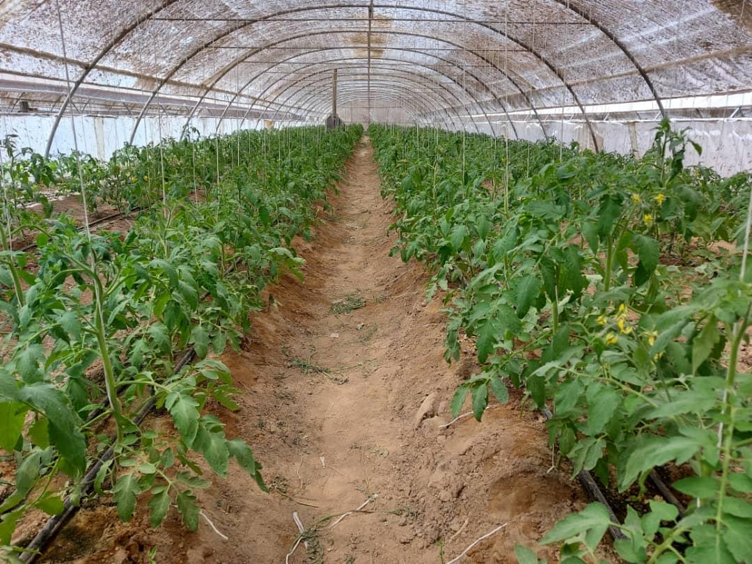 سطح زیر کشت گلخانه های سیب و سوران به ٢٠ هکتار ارتقا یافت