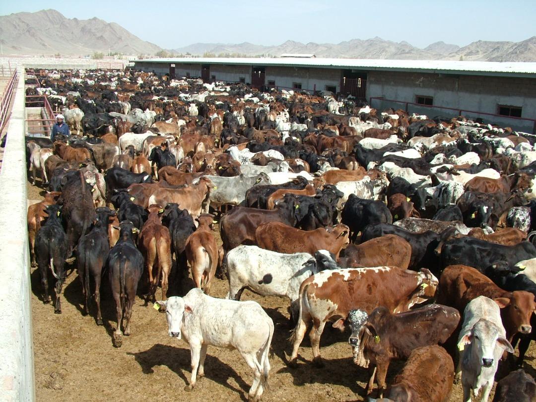 تلقیح مصنوعی گاوهای بومی برای دستیابی به افزایش تولید شیر و گوشت در سیستان وبلوچستان