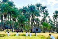 اشتغال ۱۰۰ نفر در شالیزارهای سیستان و بلوچستان/ ۹۰۰ تن شلتوک برنج از مزارع استان برداشت می شود